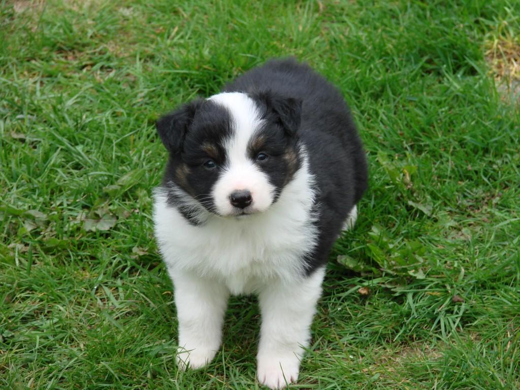 Zoey, the Australian Shepherd